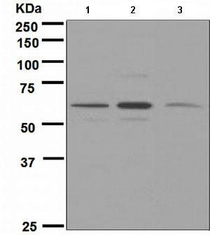 Western blot - Yes1 antibody [EPR3173] (ab109265)