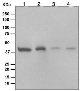 Western blot - Anti-ERK1 antibody [EP4967] (ab109282)