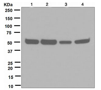 Western blot - RbAp46 antibody [EPR5082] (ab109285)