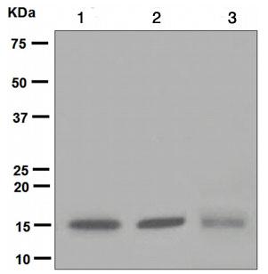 Western blot - Ube2N / Ubc13 antibody [EPR5162] (ab109286)