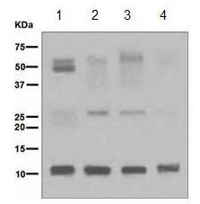 Western blot - UFM1 antibody [EPR4264(2)] (ab109305)