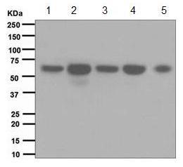 Western blot - EHD1 antibody [EPR4954] (ab109311)