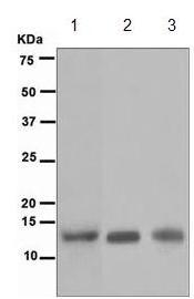 Western blot - Adrenodoxin antibody [EPR4630] (ab109312)