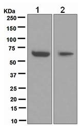 Western blot - Cdc6 antibody [EPR714(2)] (ab109315)