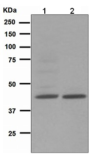 Western blot - Nodal antibody [EPR2057] (ab109317)