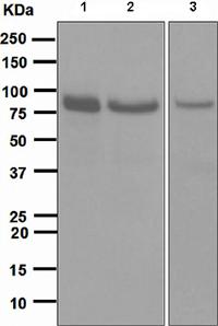 Western blot - STAT1 alpha antibody [EPR4407] (ab109320)