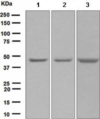 Western blot - Anti-VASP antibody [EPR1337(2)] (ab109321)