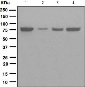 Western blot - TRAP1 antibody [EPR5381] (ab109323)