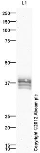 Western blot - Anti-AVPR V2 antibody (ab109326)