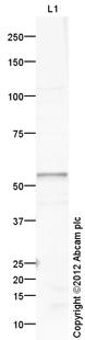 Western blot - Anti-GABPA antibody (ab109328)