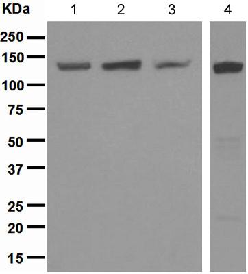 Western blot - RENT1/hUPF1 antibody [EPR4681] (ab109363)