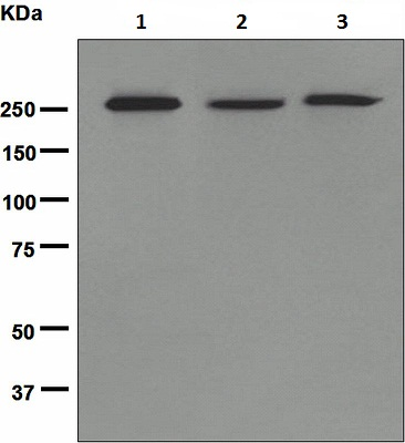 Western blot - Acetyl Coenzyme A carboxylase alpha antibody [EPR4971] (ab109368)