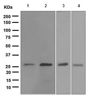 Western blot - Hsp27 antibody [EPR5477] (ab109376)