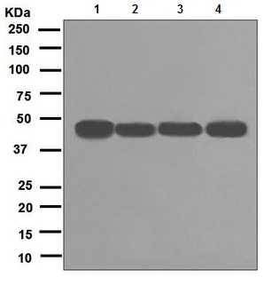 Western blot - RCC1 antibody [EPR5857] (ab109379)