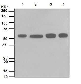 Western blot - Src antibody [EPR5496] (ab109381)