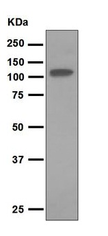 Western blot - Thyroid Peroxidase antibody [EPR5380] (ab109383)