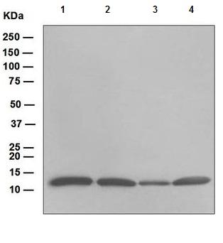 Western blot - Thioredoxin / TRX antibody [EPR6111] (ab109385)