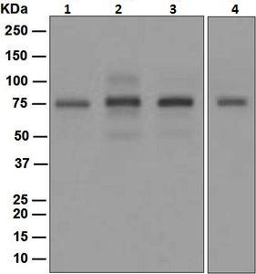 Western blot - PIAS1 antibody [EPR2580(2)] (ab109388)