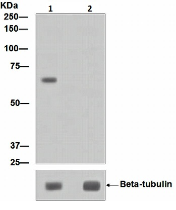 Western blot - P70 S6 Kinase beta (phospho S371) antibody [EPR2132] (ab109393)