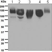 Western blot - ICAM3 antibody [EPR3994] (ab109405)