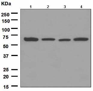 Western blot - HDAC1 antibody [EPR460(2)] (ab109411)