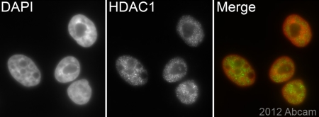 Immunocytochemistry/ Immunofluorescence - Anti-HDAC1 antibody [EPR460(2)] (ab109411)