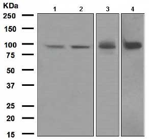 Western blot - Epac1 antibody [EPR1672] (ab109415)