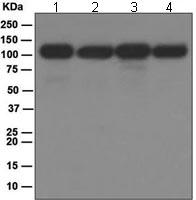 Western blot - NFkB p100 / p52 antibody [EPR4686] (ab109440)