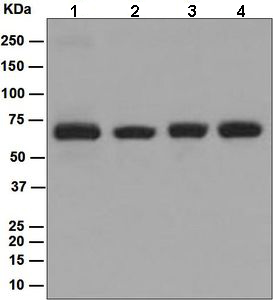 Western blot - p60 CAF1 antibody [EPR6105] (ab109442)