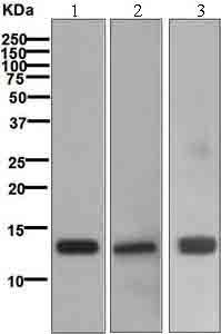 Western blot - Hemoglobin subunit alpha antibody [EP3607] (ab109444)
