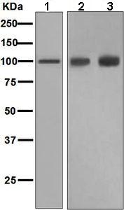 Western blot - Anti-Glutamate Receptor 1 (AMPA subtype) antibody [EPR5479] (ab109450)