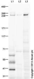 Western blot - Anti-SON antibody (ab109472)