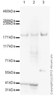 Western blot - Anti-USP47 antibody (ab109485)