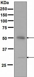 Western blot - APG5L/ATG5 antibody [EPR4797] (ab109490)