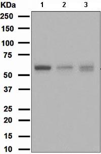 Western blot - Apg12 antibody [EPR4800] (ab109491)