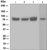 Western blot - HEC1 antibody [EPR5342] (ab109496)