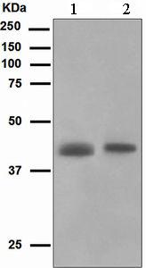 Western blot - muscle Actin antibody [EPR47] (ab109499)