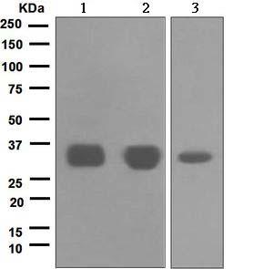 Western blot - Tropomyosin 1 (alpha) antibody [EPR5158] (ab109505)