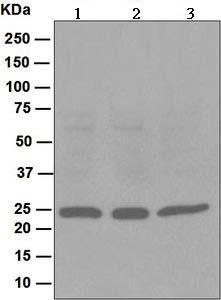 Western blot - Peroxiredoxin 1 antibody [EPR5434] (ab109506)