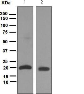 Western blot - UBE2M antibody [EPR5333] (ab109507)