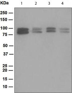 Western blot - OS9 antibody [EPR4272(2)] (ab109510)