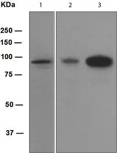 Western blot - Villin antibody [EPR3490] (ab109516)