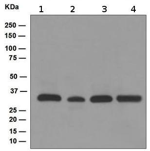 Western blot - TFIIB antibody [EP4588] (ab109518)