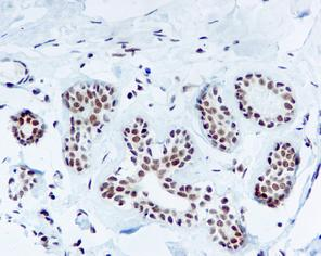 Immunohistochemistry (Formalin/PFA-fixed paraffin-embedded sections) - TFIIB antibody [EP4588] (ab109518)