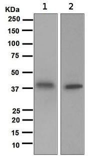 Western blot - Galectin 8 antibody [EPR4857] (ab109519)