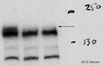 Western blot - Anti-WAPL antibody [EPR3407(2)] (ab109537)