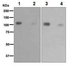 Western blot - Anti-KAP1 [EPR5249] antibody (ab109545)