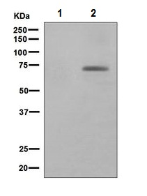 Western blot - Paxillin (phospho Y118) antibody [EPR1903] (ab109547)