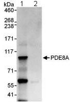 Western blot - PDE8A antibody (ab109597)