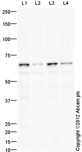 Western blot - Anti-Fbxw7 antibody (ab109617)